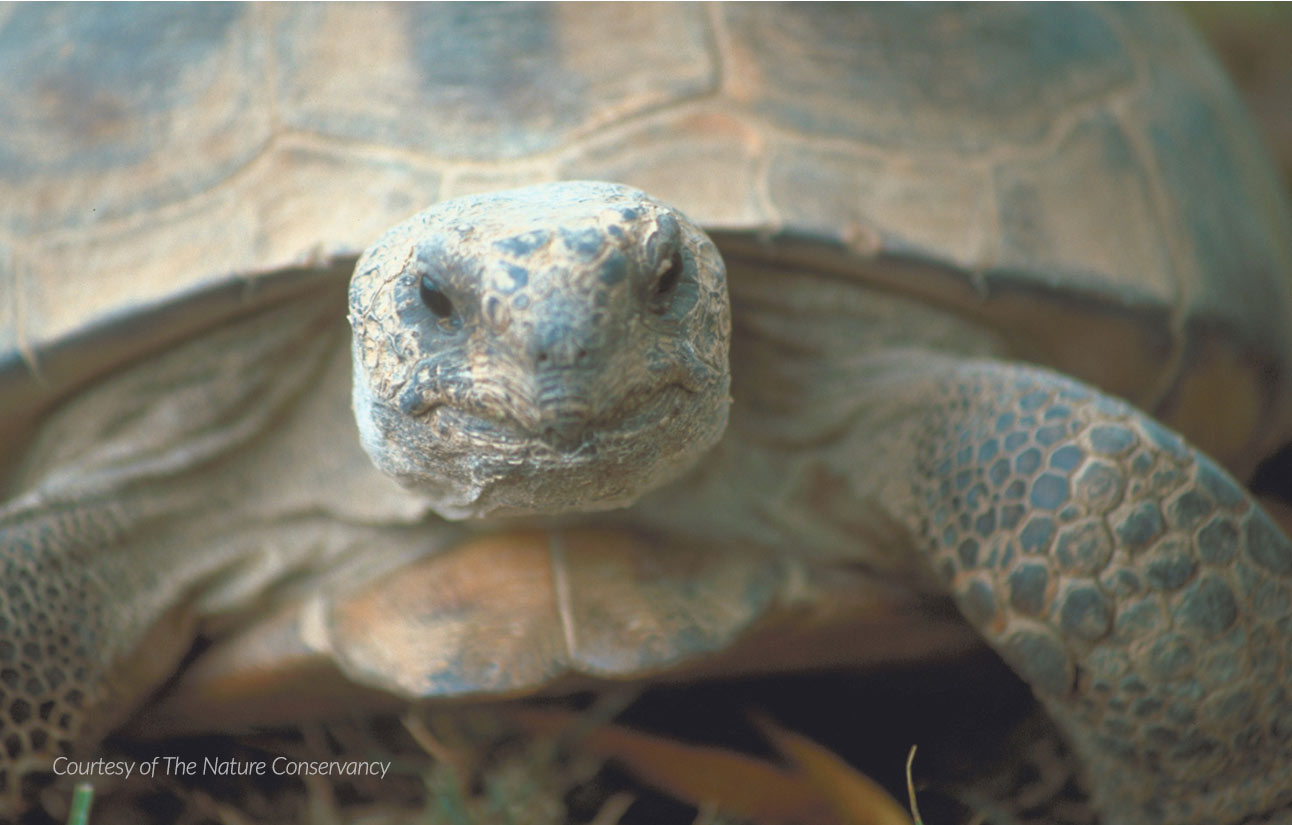 Gopher tortoise, courtesy of The Nature Conservancy